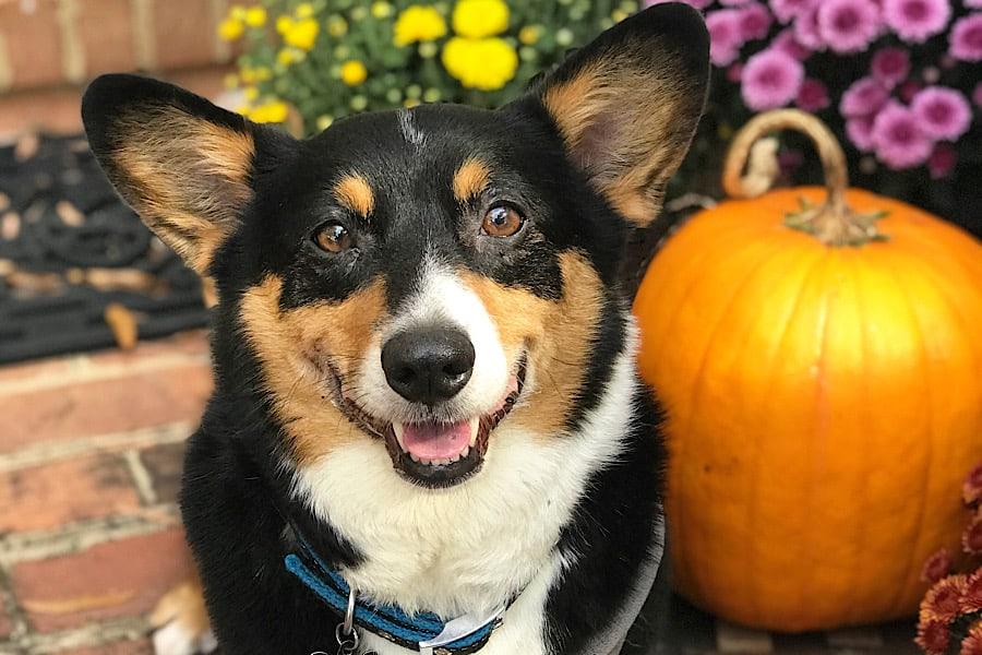 Corgi with pumpkin